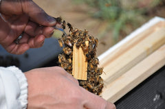 06 package queen cage brush bees off with fingers
