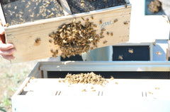 12 shake bees from package cage into hive