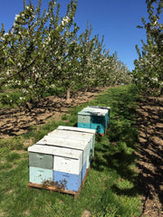Bees in Cherries in the Dalles