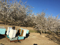 Bees in the Almond Orchard in Bloom