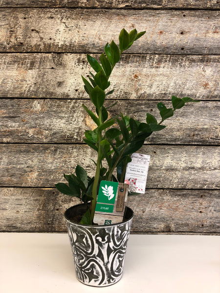 ZZ Plant, potted