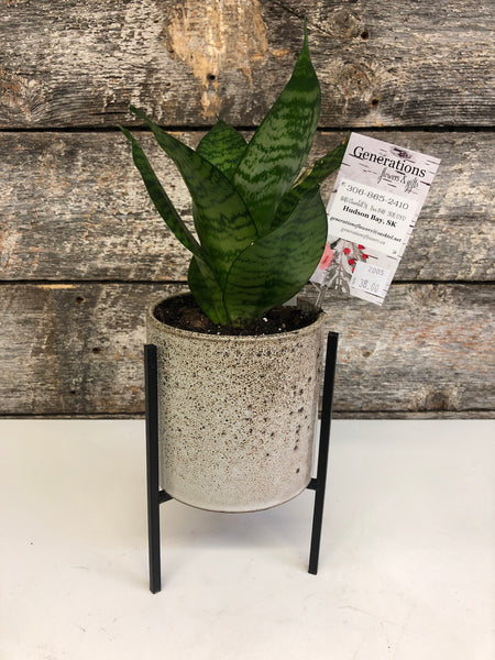 Snake Plant - Birds Nest, potted