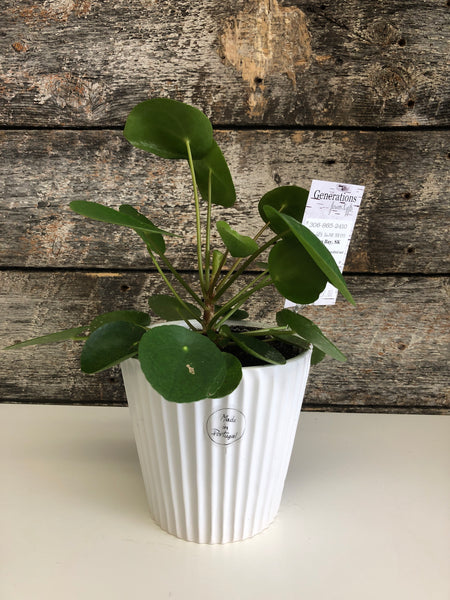 Chinese Money Plant, potted