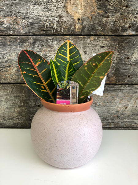Croton, Potted
