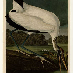 100% Hand Painted Oil on Canvas - Audubon - Wood Ibiss - Plate 216
