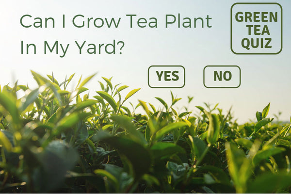 Can I Grow Tea Plant In My Yard?