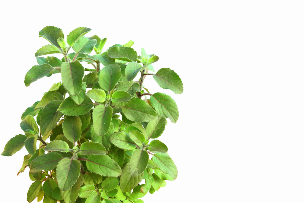 Tulsi is a common and favorite plant in India and is delicious when combined with Japanese green tea