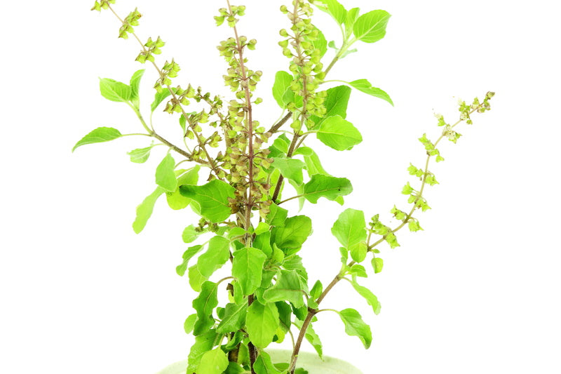 Tulsi is a common plant in India and pairs well with Japanese green tea