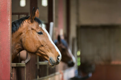 How to keep our horses happy and comfortable when they are stabled in the winter.