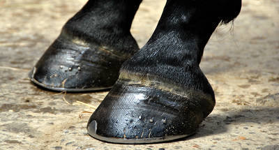 Laminitis - Causes and prevention