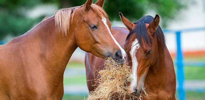 Is your horse a fussy eater? Try steamed hay!