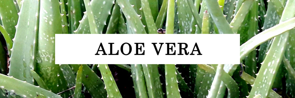 Aloe Vera close up
