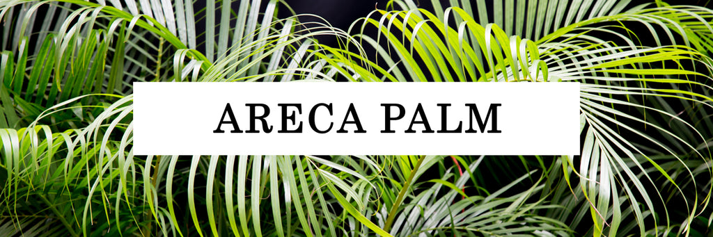 Areca Palm close up