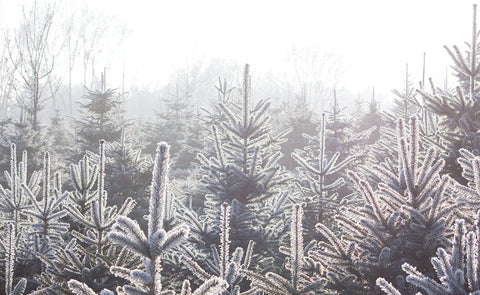 Real fir trees covered in frost