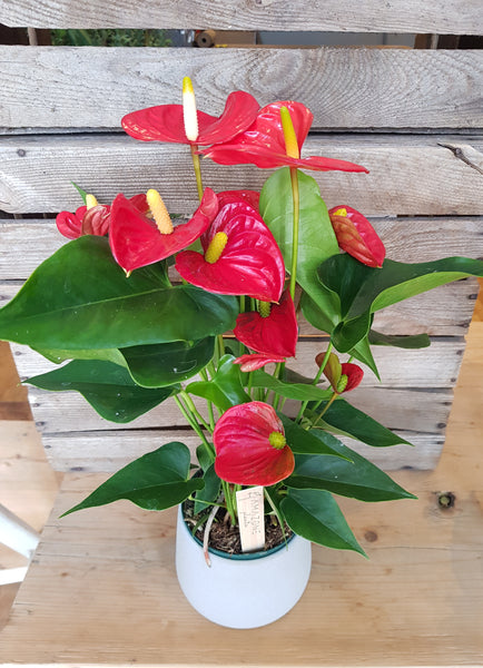 Large Anthurium Plant in Pot