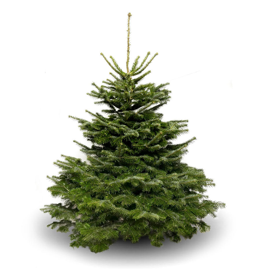 9FT+ Premium Grade Nordman Fir Christmas Tree
