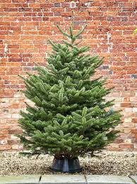 Premium Grade Nordman Fir Christmas Tree