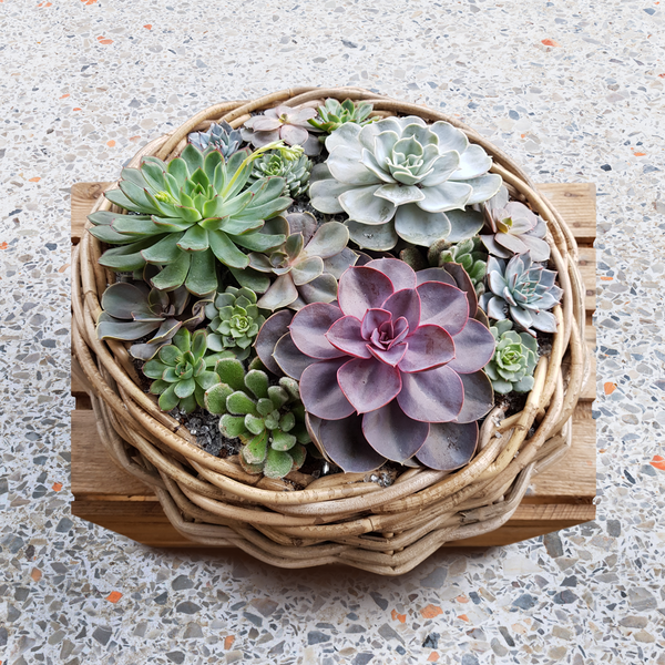 Succulent Wicker Planter