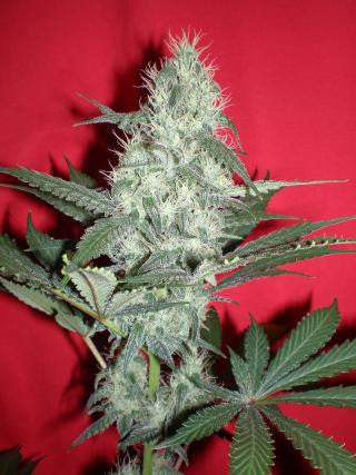 Blue Cheese - <i>12 seeds per pack Non Feminized</i>