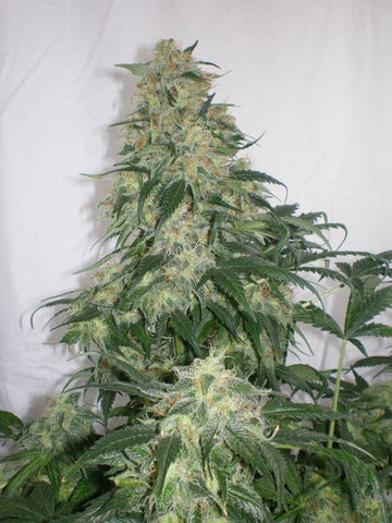 Blue Amnesia Haze - <i>12 seeds per pack Non Feminized</i>