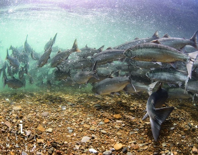 The World Biggest Sockeye Salmon Run Keeps Getting Bigger!   ATA Lodge on the Alagnak Wild River sits poised to experience another Bumper Year in 2018!