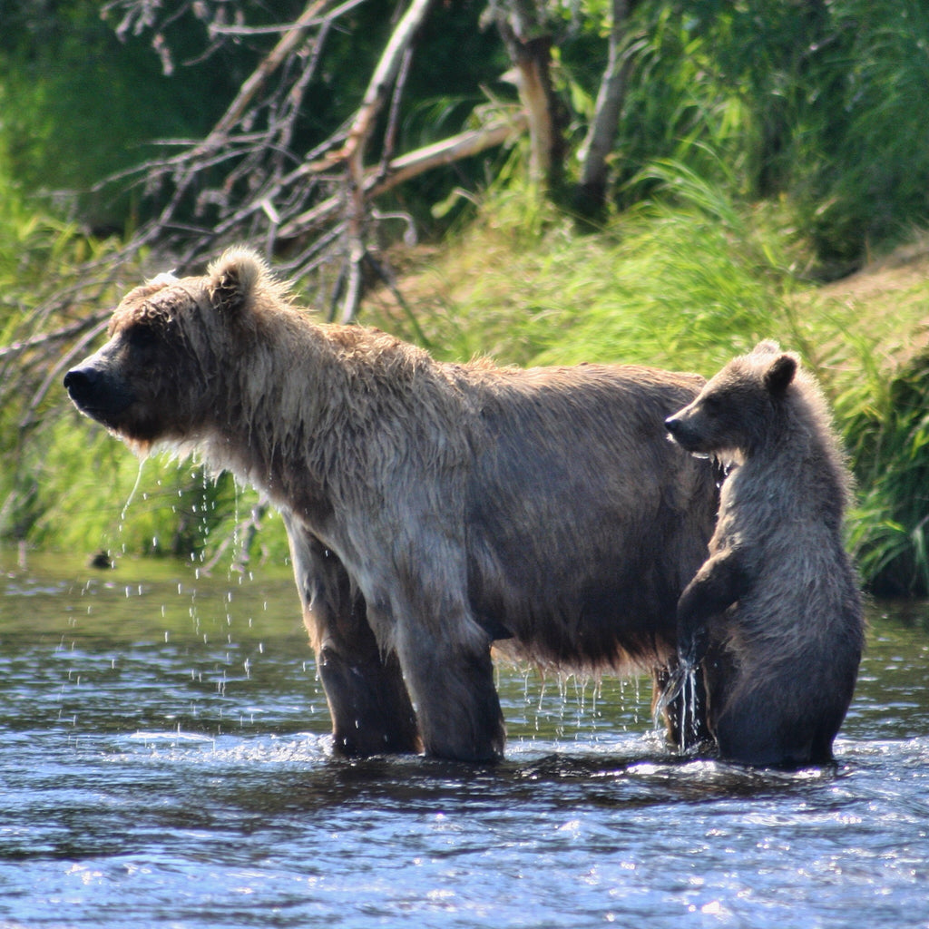 Bear Viewing on The Wild Alagnak River at Alaska Trophy Adventures Lodge in The Katmai National Park and Preserve
