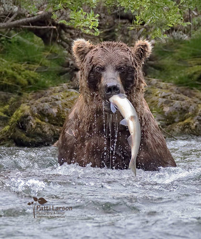 Katmai Bear Photography by Patti Larson