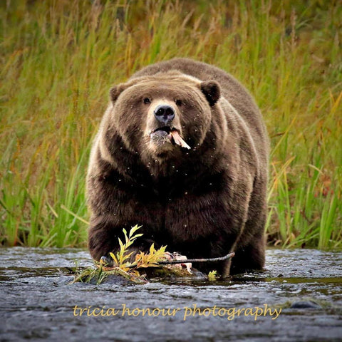Katmai Bear Photography by Tricia Honour