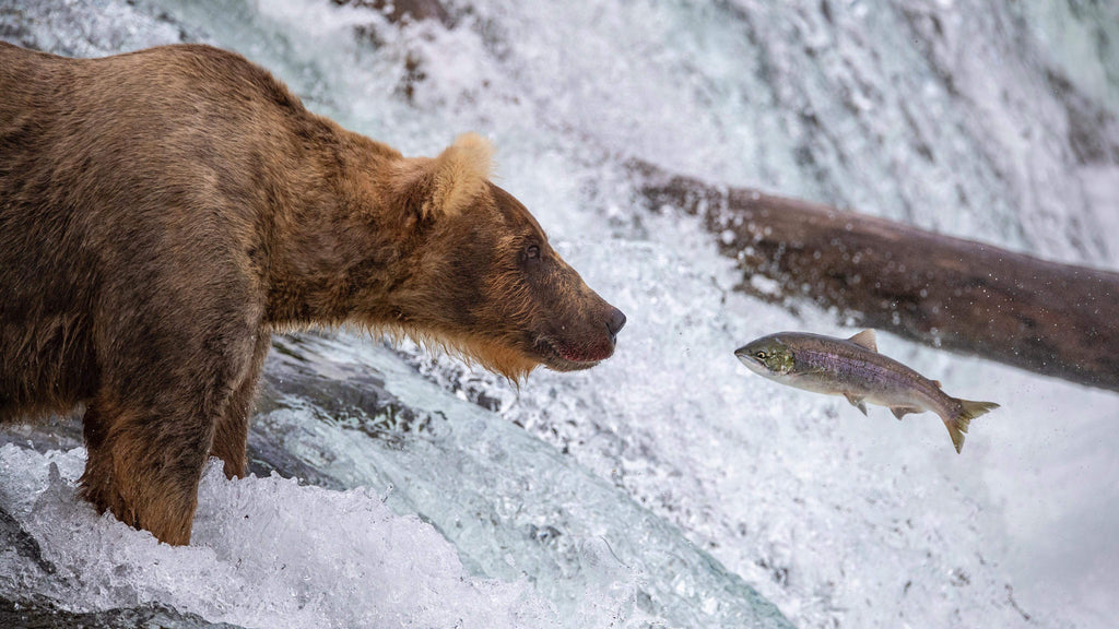 Brown Bear Photography in Katmai