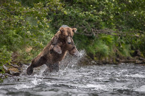 Acrobatic bear fishing for salmon.