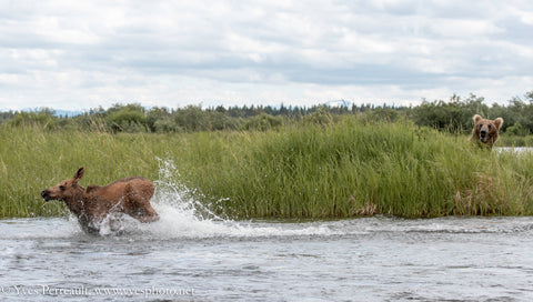 Yves Perrault captures moose narrowly escaping a bear.