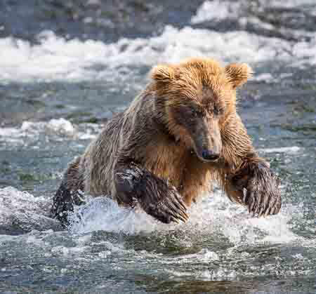 Brown Bear Pounces on a Salmon