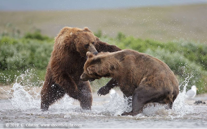 Alaskan Bears Fighting by Charles Glatzer
