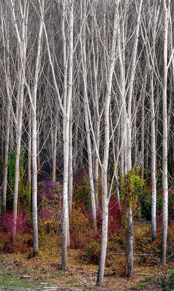 Photograph of aspen trees in the winter