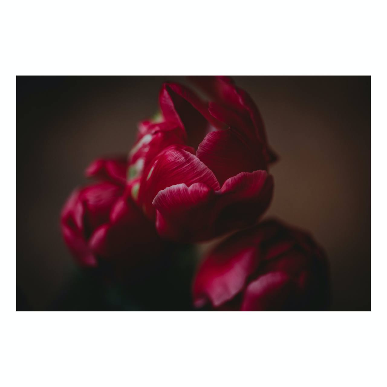 "Fine Art Prints - ""Tulips II"" 