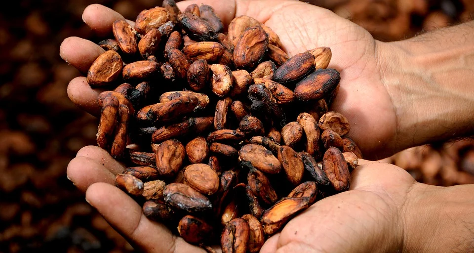 Two open hands holding fermented cacao beans