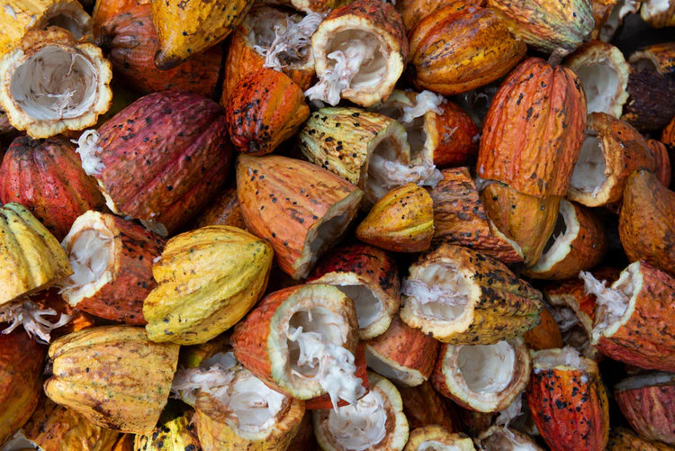 A pile of halved cacao fruit pods