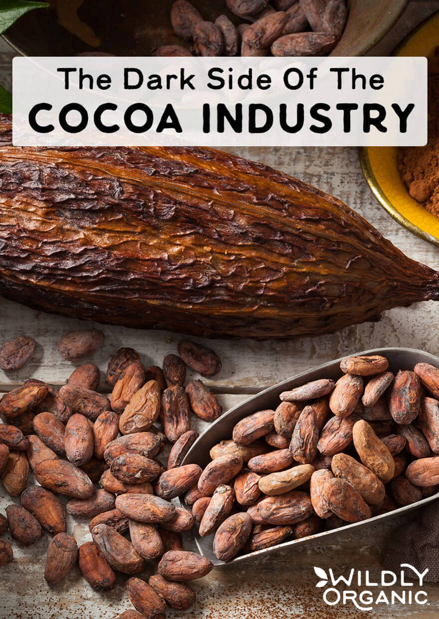 A large cacao pod and dried cacao beans in a metal spoon