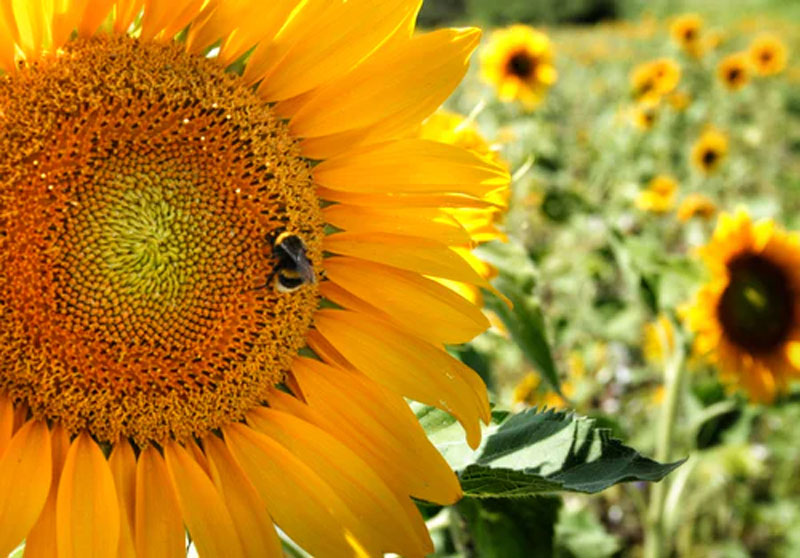 Close-up of a sunflower with a bee on it