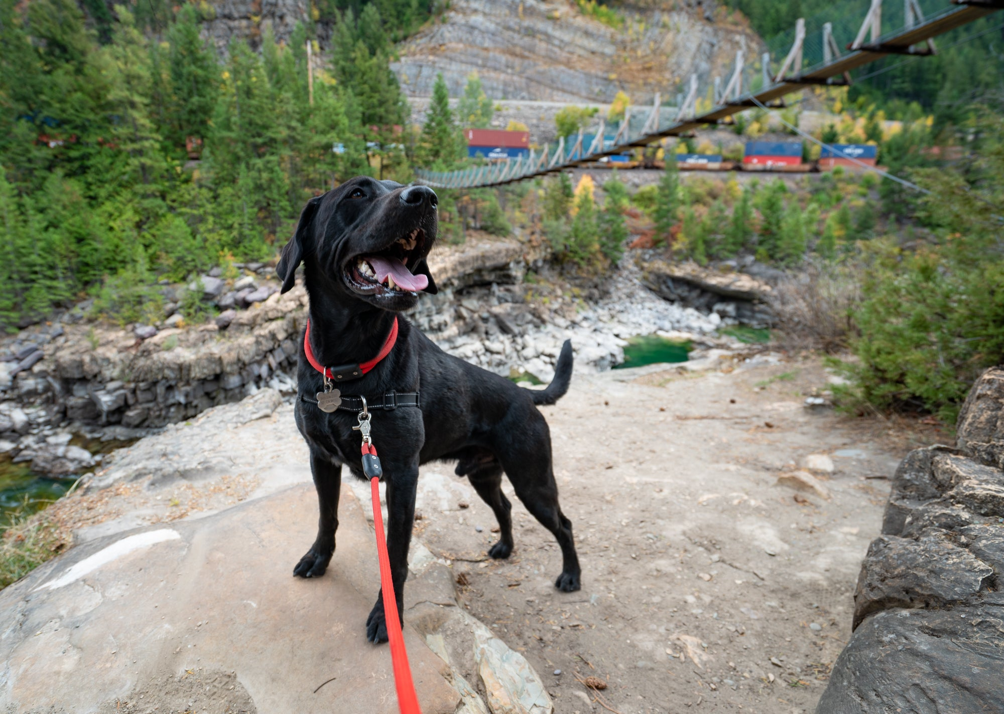 Happy black lab on a hike all geared up - Atlas Pet Company Collar vs Harness