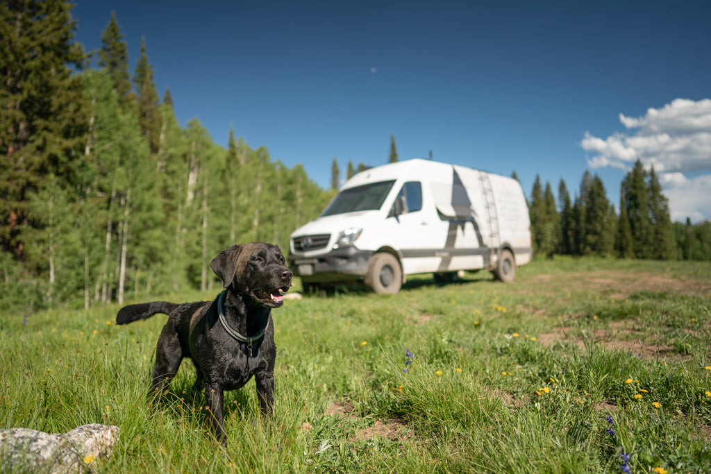 atlas pet company vanlife in crested butte colorado with atlas the labrador standing in the wildflowers showing off-leash outdoor dog