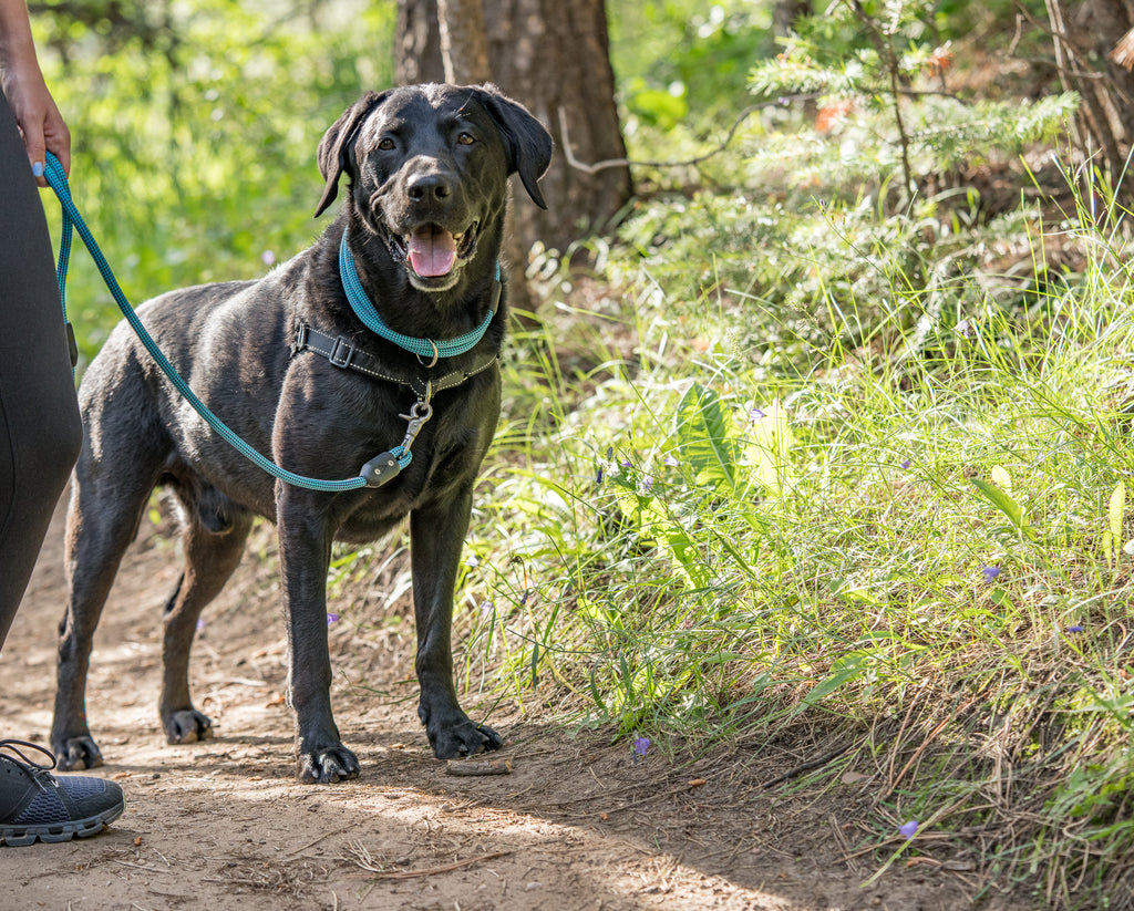 Happy black lab on a hike all geared up - Collar vs Harness, why your dog needs both atlas pet company blog