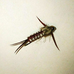 bead head brown woven stonefly