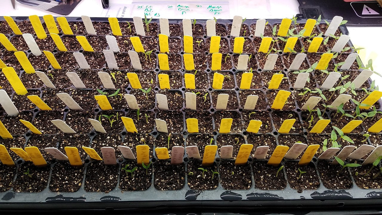 Growing Hot Peppers from Seed: Starting Hot Pepper Seeds