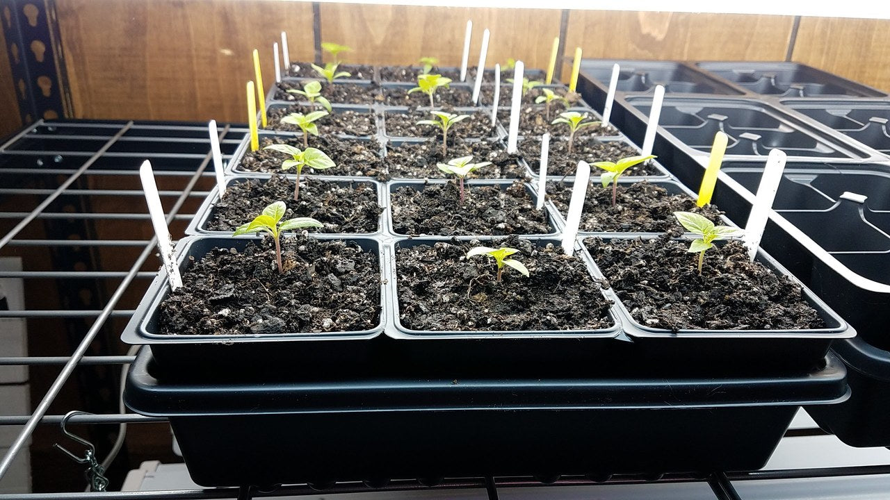 Growing Hot Peppers from Seed:  Potting up Pepper Seedlings