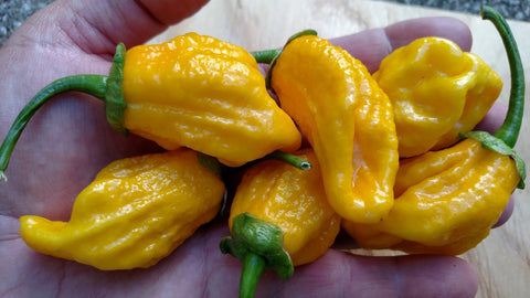 7 Pot Bubblegum BBG7 Yellow
