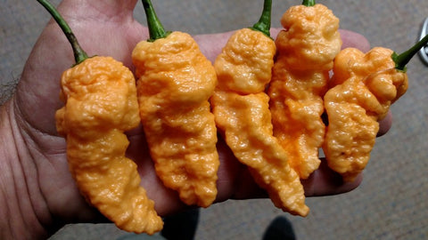 Peach Bhut Jolokia WM