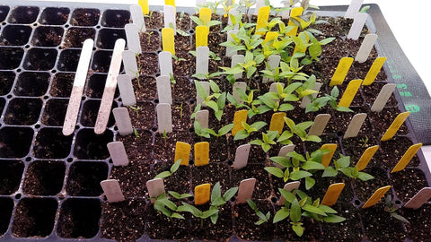 Pepper Seedlings in 128 cell plug tray