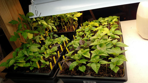 more pepper plants under lights