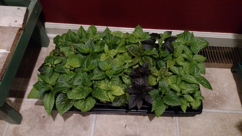 another tray of pepper plants